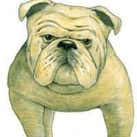 illustrazioni - bulldog
