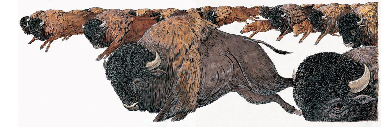illustrazioni - bufali
