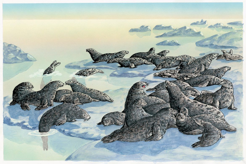 illustrazioni - foche